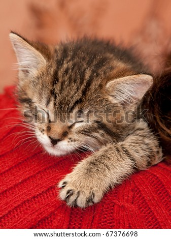 Striped Kitten sleeps on a shoulder