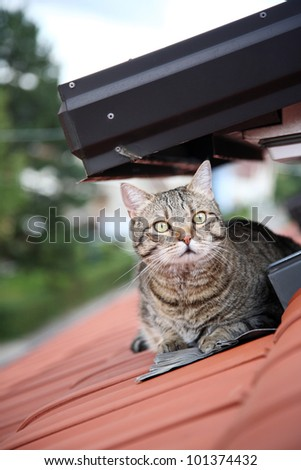 striped male cat on roof - stock photo