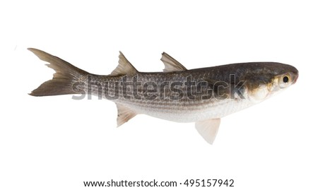 Striped mullet (Mugil cephalus) isolated on white background. Side view