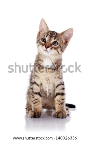 Striped not purebred kitten. Kitten on a white background. Small predator. Small cat. - stock photo