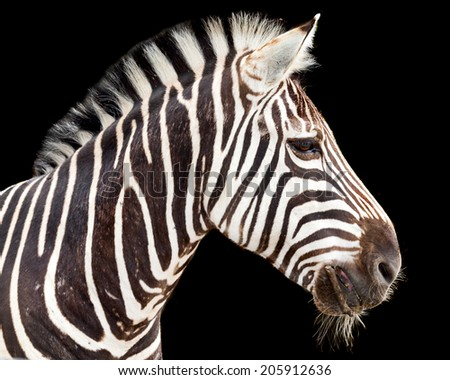 striped pony african animal the zebra - stock photo