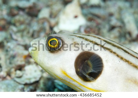 Striped puffer _ Arothron manilensis
