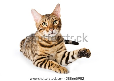 Striped red cat bengal looking at the camera (isolated on white) - stock photo