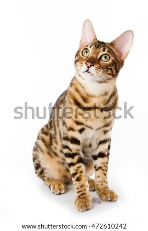 Striped red cat Bengal looking up (isolated on white)
