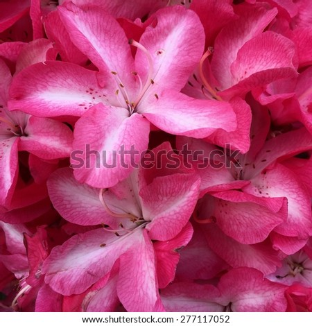 Striped Rhododendrons 3