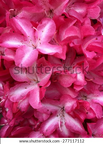Striped Rhododendrons 4