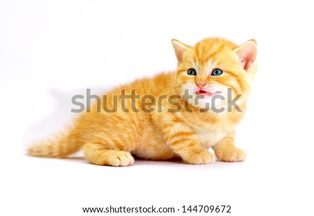 Striped scottish kitten with blue eyes. Kitten on a white background. Small predator.