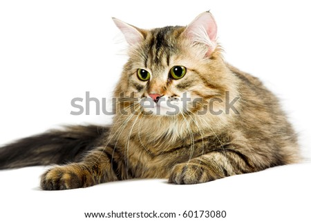 striped siberian cat isolated on white background - stock photo