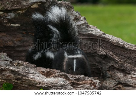Striped Skunk Kit (Mephitis mephitis) Peeks Out - captive animal