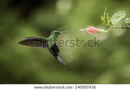 Striped-tailed hummingbird frozen in flight with a fast shutterspeed. - stock photo