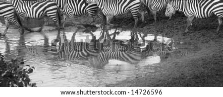 Striped Zebra Reflection - stock photo