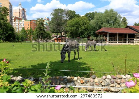Striped zebras on the lawn of the Moscow zoo - stock photo