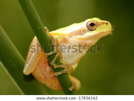 Stripeless Tree Frog on a grass stem with fly in mouth