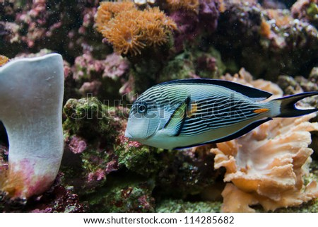 Stripped blue, yellow and white aquarium fish