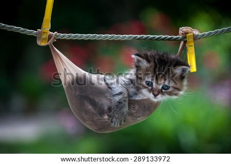 Stripy little kitten inside a stocking hanging on the rope looking straight, hotizontal - stock photo