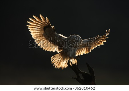 Strix aluco,Tawny Owl in early morning, landed on old root with outstretched wings illuminated by backlight. Almost black background. European forest. - stock photo