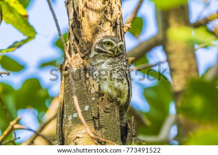 Strix occidentalis or Spotted owls perching in tree hallow