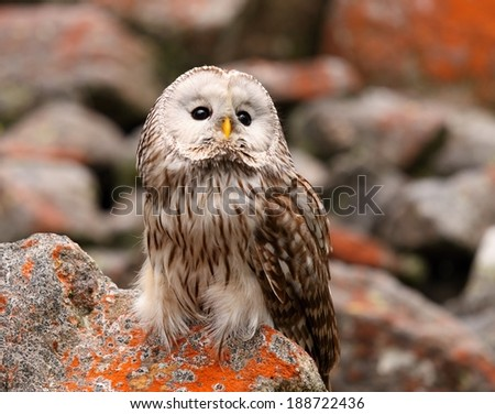 Strix uralensis, nocturnal owl living in Europe and Asia - stock photo