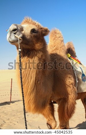 Strong and lovely camel standing in desert - stock photo