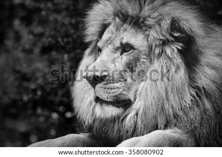 Strong contrast black and white of a male lion in a kingly pose - stock photo