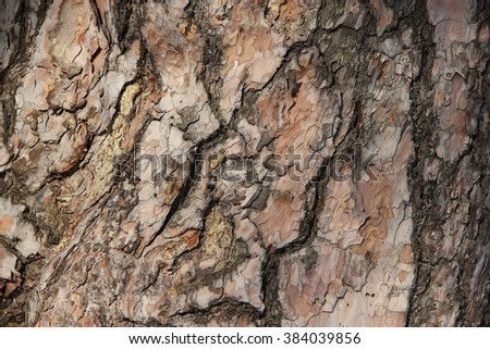 Structure bark pine tree