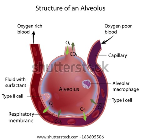 Structure of an alveolus - stock photo