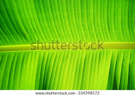 Structure of banana leaf.