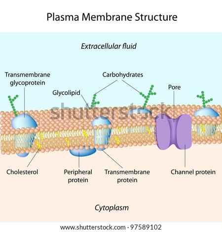 Structure of plasma membrane - stock photo