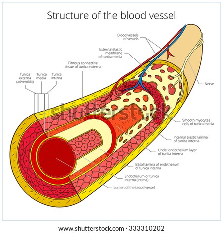 Structure of the blood vessel medical colorful scheme raster illustration. Educational material