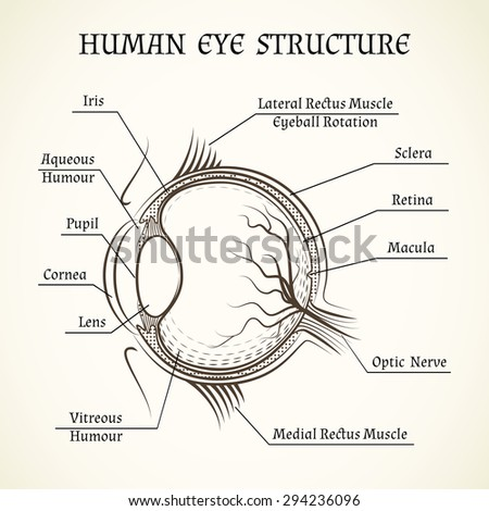 Structure of the human eye. Anatomy and medicine, iris and pupil, lens and macula, aqueous humour - stock photo