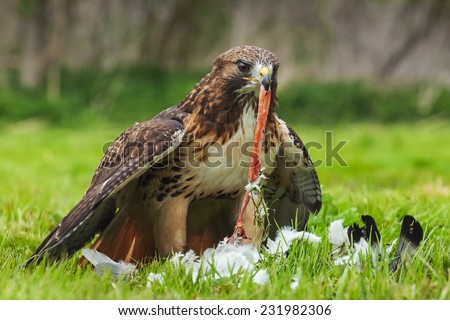 Struggling with lunch. A red-tailed hawk struggles to extract the intestines of its pigeon prey. - stock photo