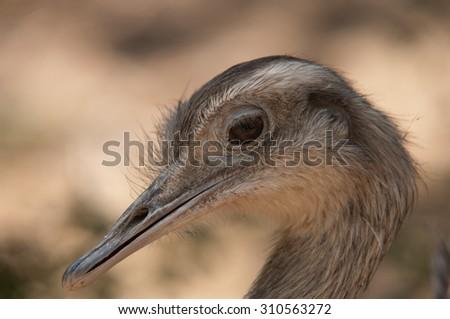 Struthio camelus is a common ornich big bird - stock photo