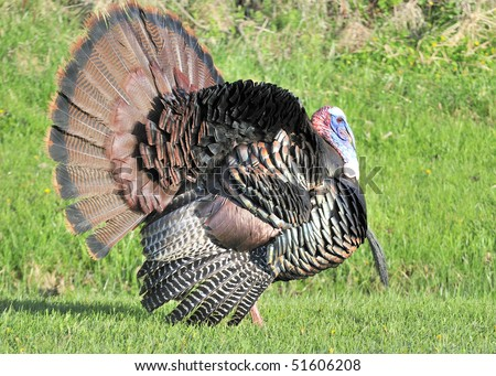 Strutting male wild turkey displaying in the spring mating season.