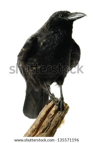 Studio image of a juvenile Carrion Crow (Corvus corone) perched on a wooden stump against a white background. Copy space.