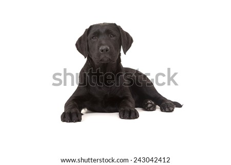 Studio photo of a baby labrador retriever, isolated over a white background - stock photo