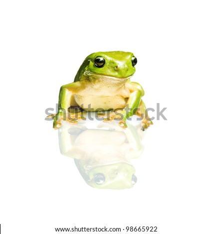 Studio Photo Of The Australian Green Tree Frog (Litoria Caerulea) Isolated On White Background With Reflection - stock photo