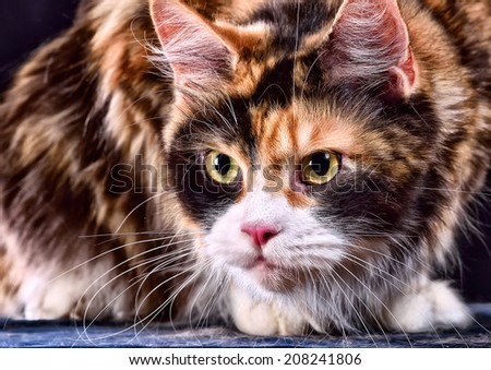 Studio photography cat the breed - the Maine Coon, on a black background - stock photo