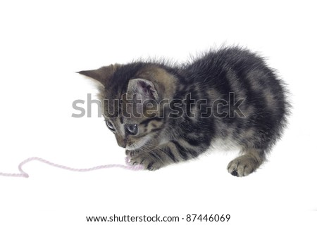 Studio photography in white back showing a very small kitten while playing with a woolen twine - stock photo