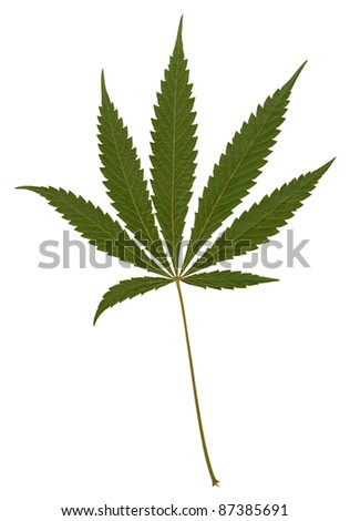 studio photography of a silhouette-like green hemp leaf in white back - stock photo