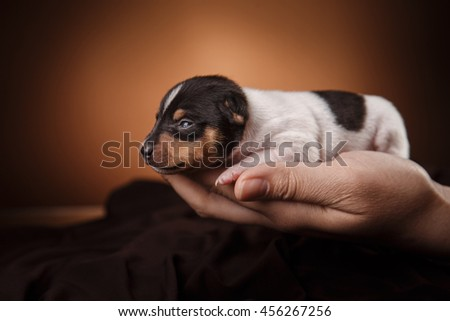 Studio portrait little puppy breed Toy fox terrier on color background