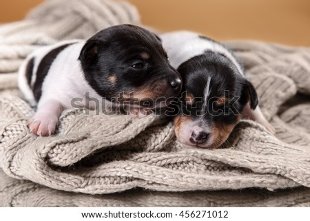 Studio portrait little puppys breed Toy fox terrier on color background