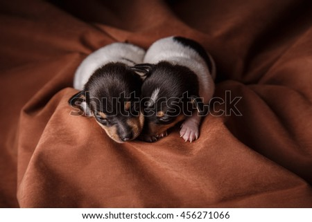 Studio portrait little puppys breed Toy fox terrier on color background - stock photo