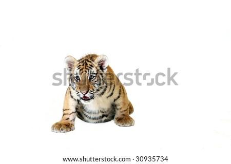 Studio portrait of a Amur Tiger Cub. - stock photo
