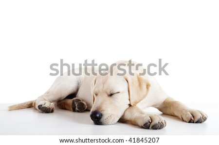 Studio portrait of a beautiful and cute labrador dog sleeping - stock photo