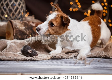 studio portrait of a brown domestic rat and dogs Jack Russell Terrier - stock photo