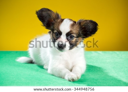 Studio portrait of a cute puppy papillon on a yellow background - stock photo