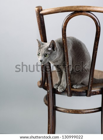 Studio Portrait of a elegant and beautiful purebred Russian Blue Cat on antique wooden Chair