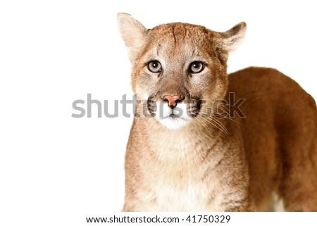 Studio portrait of a Mountain Lion. - stock photo