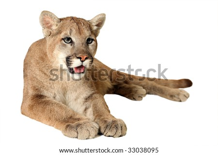 Studio portrait of a Mountain Lion isolated on a white background. - stock photo