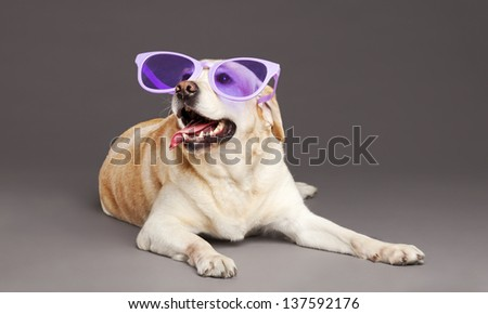 Studio portrait of a white Labrador wearing oversized funny violet  plastic glasses, and looking up with a large smile on its face.